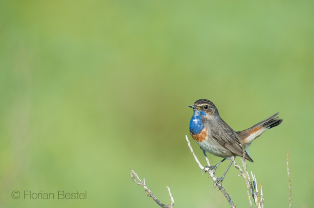 Gorge bleue à miroir / Bluethroat / Luscinia svecica