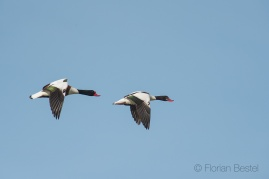 Tadorne de belon / Common Shelduck / Tadorna tadorna